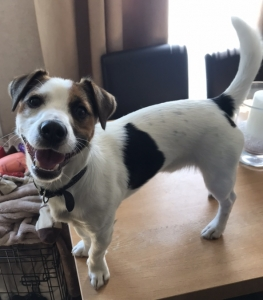 Jack Russell available for stud  Listing Image