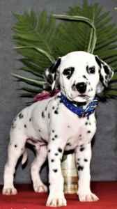 Regal AKC Dalmatian Stud  Listing Image