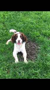 Liver and White Male English Springer Spaniel Listing Image