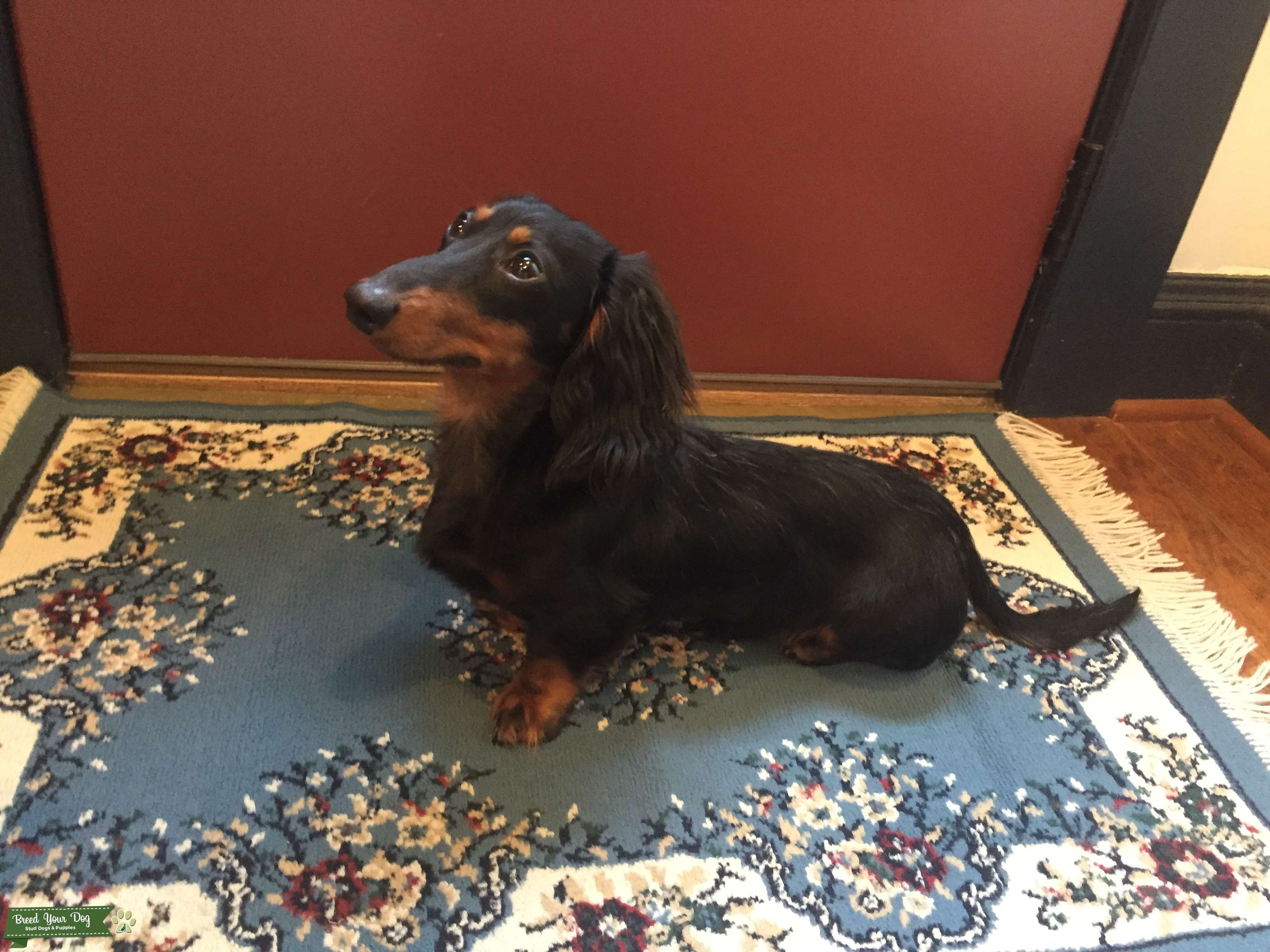 Long-Haired Miniature Dachshund  Listing Image Big