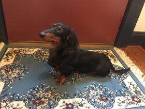 Long-Haired Miniature Dachshund  Listing Image