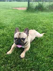 French Bulldog Listing Image