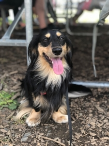 Dachshund Miniature Long Hair Lovely personality and beautiful shiny hair Listing Image
