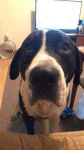 Coonhound/Great Dane Listing Image