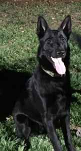 German Shepherd (Black) Stud Listing Image