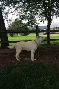 Akc White German Shepherd Stud Listing Image