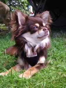chihuahua stud duties availble Listing Image