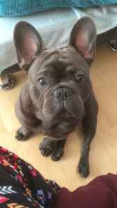 Blue French Bulldog for Stud  Listing Image