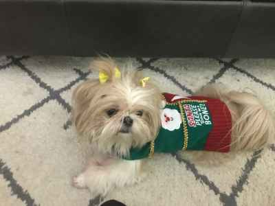 Beautiful teacup shih-tzu female lookng for male stud Listing Image