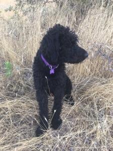 Black Labradoodle Listing Image