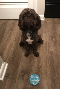 Cockapoo male  Listing Image