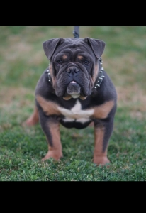 Blue Tri English bulldog Listing Image