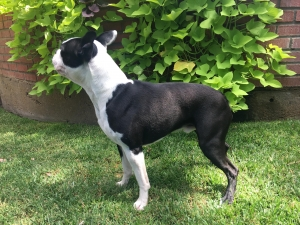 Boston Terrier Stud - Hereford, Texas Listing Image
