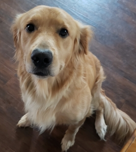 2 year old male Golden Retriever stud dog Listing Image
