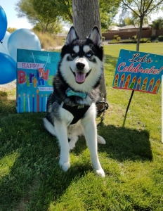 Male Pomsky Looking For Mate! Listing Image