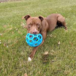 1.5 year old Red nose Pittbull Listing Image