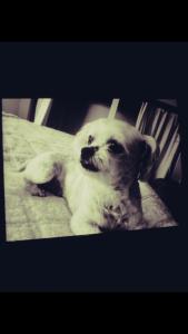 Cute little shih poo 5yrs  Listing Image