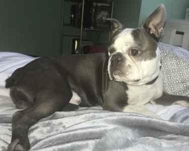 Blue AKC Boston Terrier- Amarillo Texas Listing Image