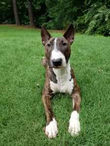 Brindle akc Bull terrier Listing Image