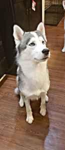 AKC Siberian Husky Stud Listing Image