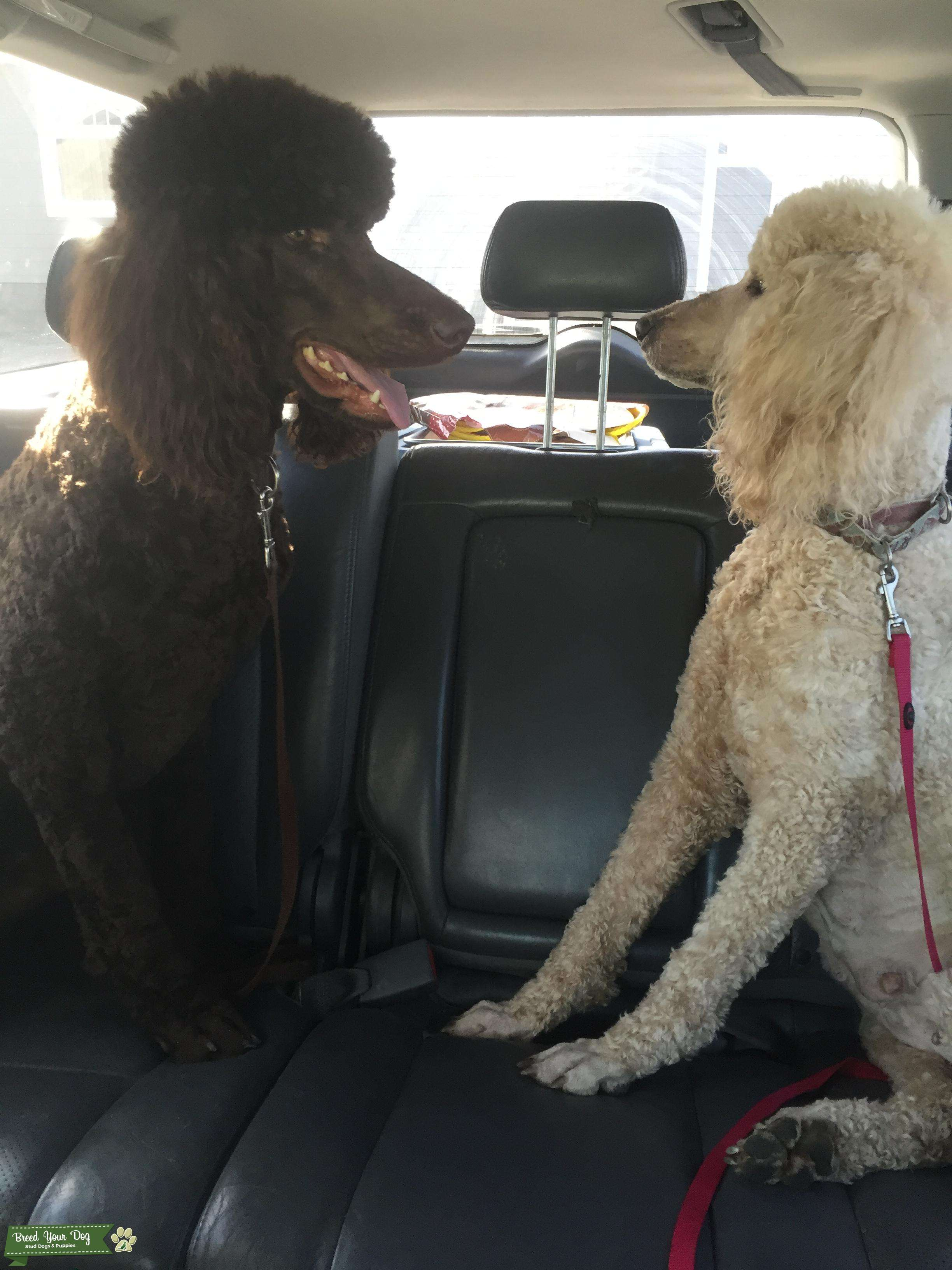 Strange Stud Dog Akc Brown Standard Poodle Breed Your Dog Alphanode Cool Chair Designs And Ideas Alphanodeonline