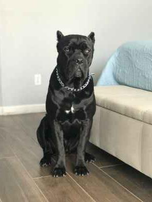 Pure Cane Corso Male With Papers and DNA  Listing Image