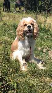 Brown/white (buff) registered male cocker spaniel  Listing Image