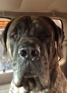 English Mastiff Stud Listing Image