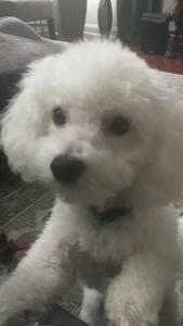 One Year Old Bichon Frise Stud  Listing Image