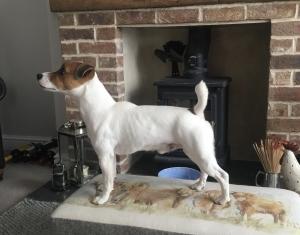 Jack Russell Stud Dog Listing Image