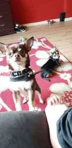 Chocolate Chihuahua  Listing Image