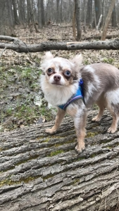 HANDSOME & RARE long haired SILVER MERLE chihuahua with two different colored eyes Listing Image