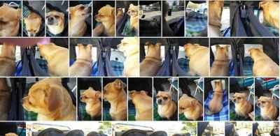 Fawn Chihuahua Bitch Listing Image