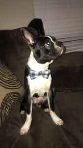 Black and white Boston Terrier  Listing Image
