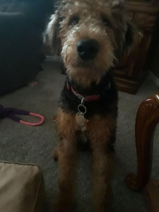 Airedale Terrier  Listing Image