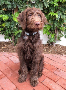 Chocolate Labradoodle *KING LEO* Therapy Dog Stud Listing Image