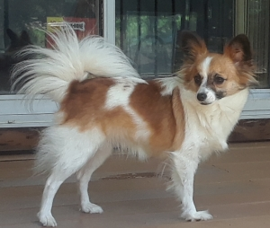 Brown white female Papillon Listing Image