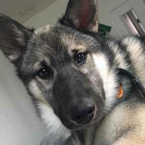 Handsome Husky/Elkhound Listing Image