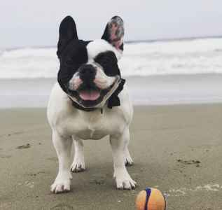 Pied French Bulldog  Listing Image
