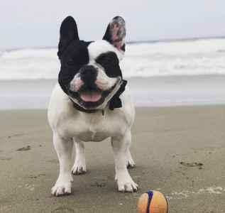 Pied French Bulldog  Listing Image