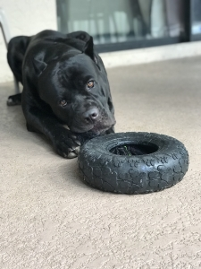 Cane Corso Available for Stud Listing Image