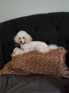 Toy Poodle Ready to Mate Listing Image