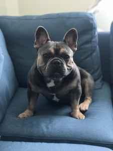 Male French bulldog seeking female Listing Image