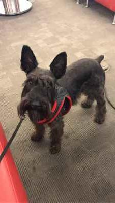 Looking for a female schnauzer  Listing Image