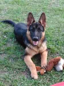 Black Saddle German Shepherd Listing Image