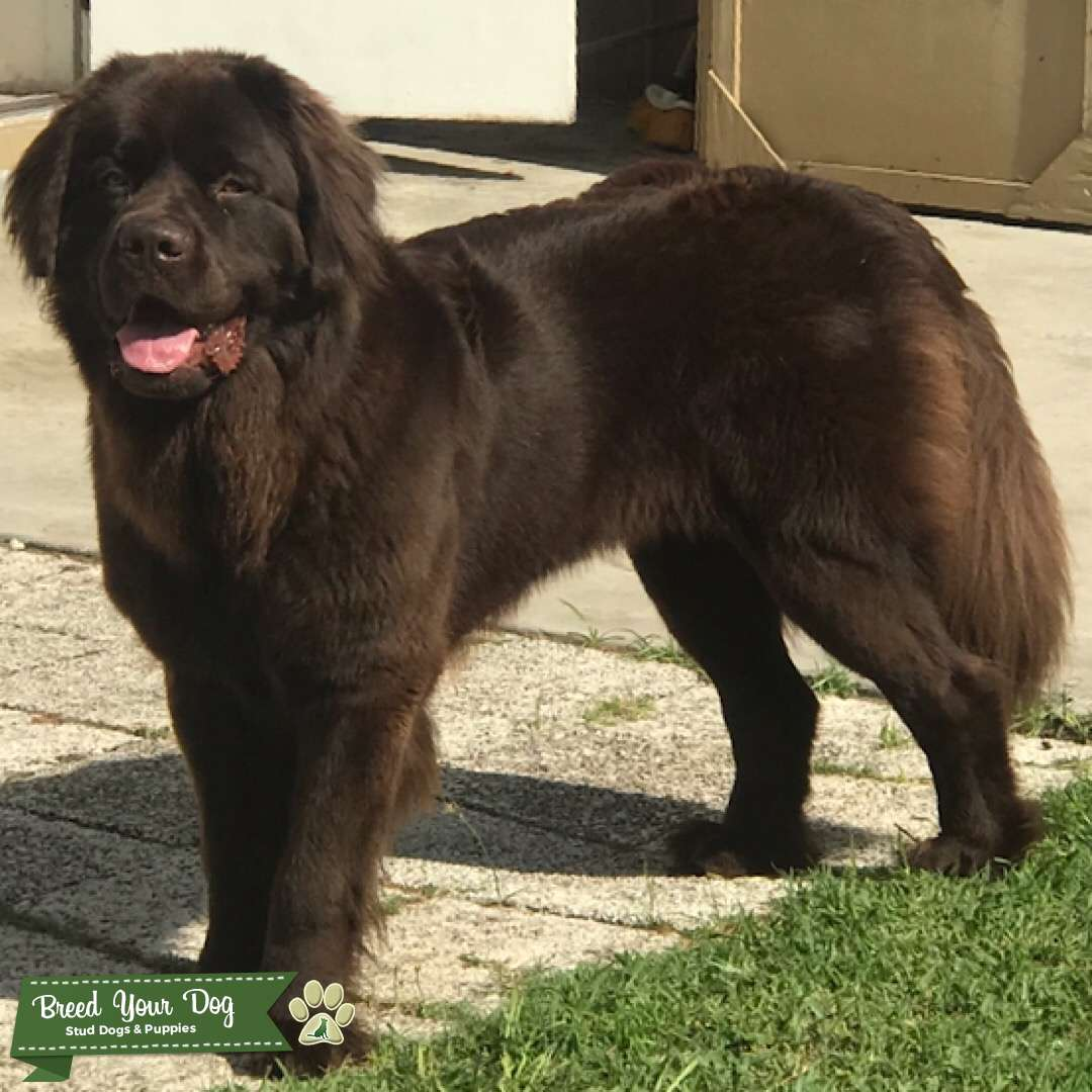 Bella the Newfie Listing Image Big