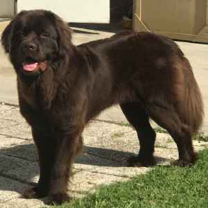 Bella the Newfie Listing Image