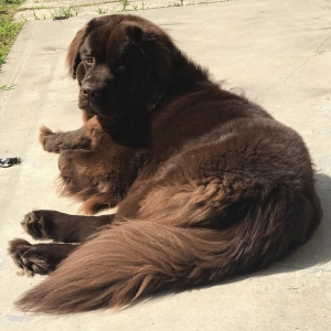 Bella the Newfie Listing Image Thumbnail