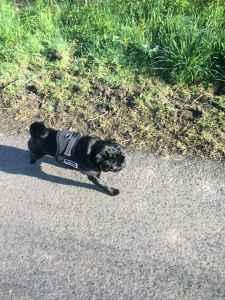 Black Pug - for Stud (white gene carrier) Listing Image