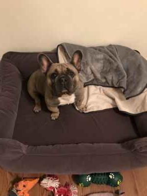 Blue Fawn Frenchie Listing Image